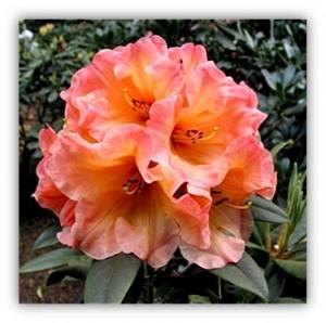 Amber Peach